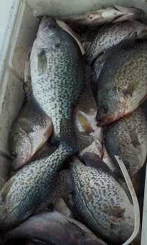Nice mess of Crappie on CCL with BigCrappie Guides