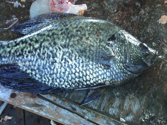 Spawning Male Crappie