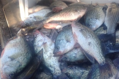 Fall Cooler of Crappie