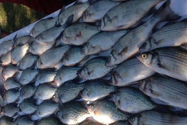 Table Full Of Fish on Cedar Creek Lake Texas