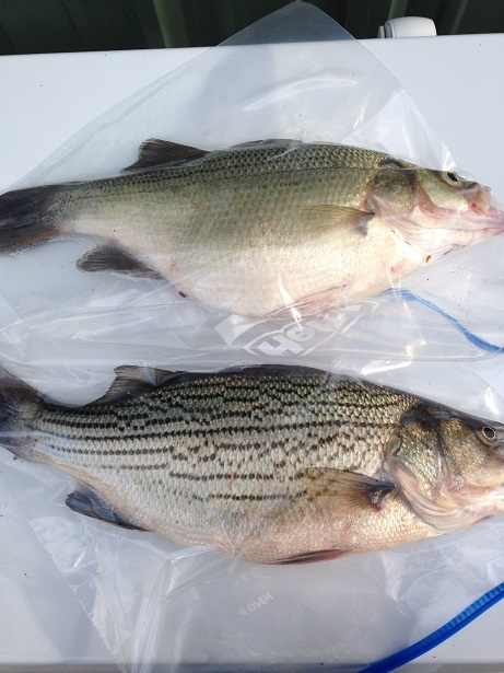 Boyles White Bass Compared To A Hybrid