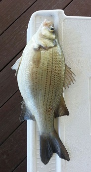 Fat Whitebass