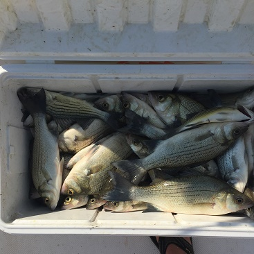 Schaap Cooler Of Fish