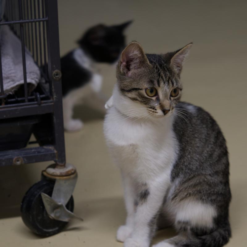 Lost Pet   Kitten