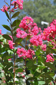 Quality Plants: shrubs